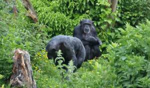 There are some chimpanzees.